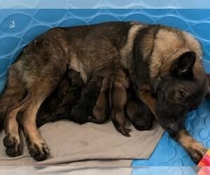 German Shepherd Dog Litter for sale in BOERNE, TX, USA