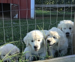 Golden Retriever Litter for sale in CENTRAL MANOR, PA, USA