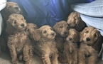 Goldendoodle-Poodle (Standard) Mix Puppy For Sale in PLAINS, MT, USA