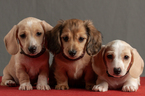 Dachshund Puppy For Sale in CROWLEY, TX, USA