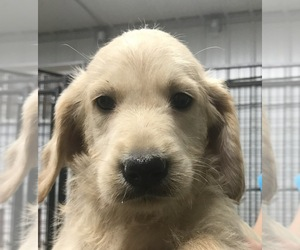Labradoodle Litter for sale in PINE ISLAND, MN, USA