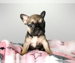 French Bulldog Litter for sale in BELLEAIR, FL, USA