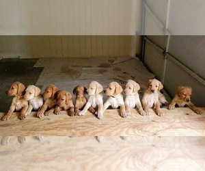 Labrador Retriever-Unknown Mix Litter for sale in MACON, GA, USA