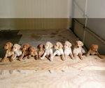 Labrador Retriever-Unknown Mix Puppy For Sale in MACON, GA, USA