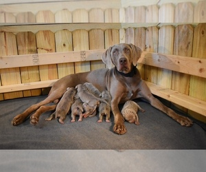 Weimaraner Litter for sale in WILDWOOD, FL, USA