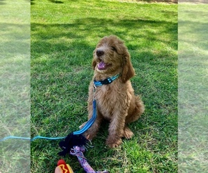 Goldendoodle Litter for sale in PAHRUMP, NV, USA