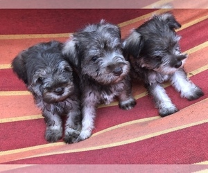 Schnauzer (Miniature) Litter for sale in MICHIGANTOWN, IN, USA