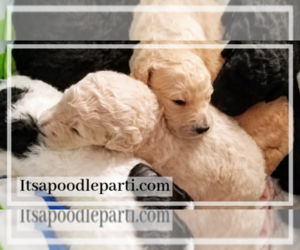 Poodle (Standard) Litter for sale in COVINGTON, GA, USA