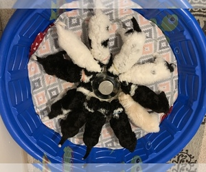 Sheepadoodle Litter for sale in GRANT CITY, MO, USA