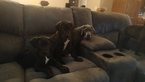 Great Dane Puppy For Sale in LONE JACK, MO, USA