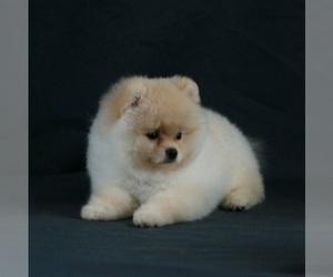 Pomeranian Litter for sale in BROOKLYN, NY, USA