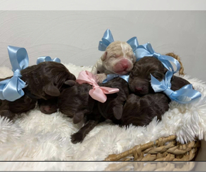 Labradoodle Litter for sale in STREATOR, IL, USA