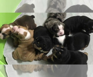 Bulldog Litter for sale in WATERVILLE, OH, USA