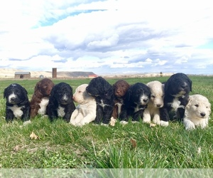 Pyredoodle Litter for sale in PAYETTE, ID, USA