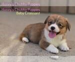 Pembroke Welsh Corgi Puppy For Sale in BAKERSFIELD, CA, USA