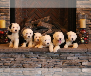 Sheepadoodle Litter for sale in STANLEY, VA, USA