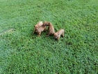 Rhodesian Ridgeback Puppy For Sale in DOVER, AR, USA