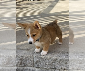 Pembroke Welsh Corgi Litter for sale in BON AQUA, TN, USA