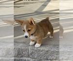 Pembroke Welsh Corgi Puppy For Sale in BON AQUA, TN, USA