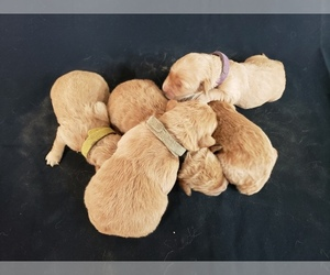 Goldendoodle Litter for sale in MILFORD, MI, USA