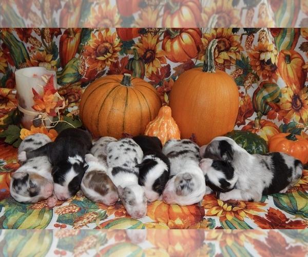Medium Photo #1 Australian Shepherd Puppy For Sale in CANTON, OH, USA