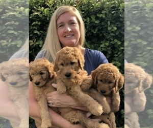 Goldendoodle Litter for sale in LOS ALAMITOS, CA, USA