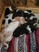 Basset Hound Puppy For Sale in WEST PLAINS, MO, USA