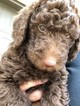 Labradoodle Puppy For Sale in FORNEY, TX, USA