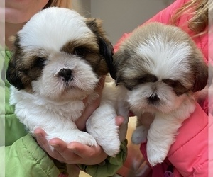 Shih Tzu Puppies For Sale Near Stevens Point Wisconsin Usa Page