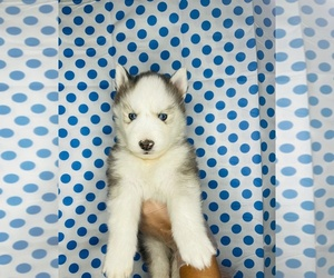Alaskan Husky Litter for sale in EL PASO, TX, USA