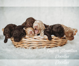 Labradoodle Litter for sale in CASPER, WY, USA