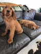 Golden Irish Puppy For Sale in WHITMORE LAKE, MI, USA