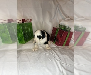 Sheepadoodle Litter for sale in ELYRIA, OH, USA