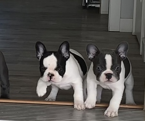 French Bulldog Litter for sale in APPLETON, WI, USA