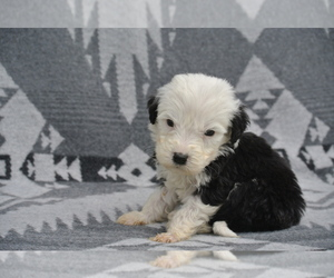 Sheepadoodle Litter for sale in FREDERICKSBG, OH, USA