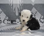 Small Sheepadoodle