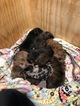 Aussiedoodle-Labradoodle Mix Puppy For Sale in AMARANTH, PA, USA