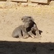 American Pit Bull Terrier Puppy For Sale in FRESNO, CA, USA