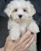Maltese Puppy For Sale in WARSAW, IN, USA