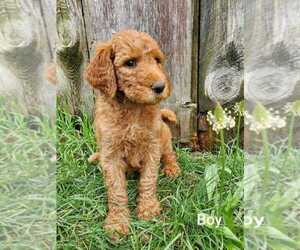 Goldendoodle-Poodle (Standard) Mix Litter for sale in EPHRATA, PA, USA