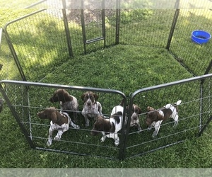 German Shorthaired Pointer Litter for sale in CLARKSVILLE, IA, USA