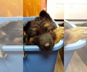 German Shepherd Dog Litter for sale in CHEPACHET, RI, USA