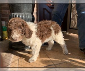 Poodle (Standard) Litter for sale in HOUSTON, TX, USA