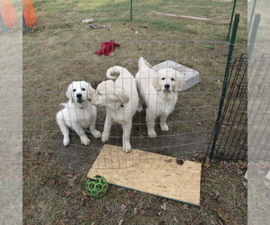 English Cream Golden Retriever Litter for sale in NORTHWOOD, OH, USA
