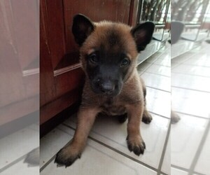 Belgian Malinois Litter for sale in MARLBOROUGH, CT, USA