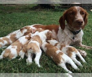 Brittany Litter for sale in NEWCASTLE, OK, USA