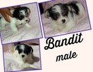Chihuahua-Yorkie-Poo Mix Puppy For Sale in KANSAS CITY, MO, USA