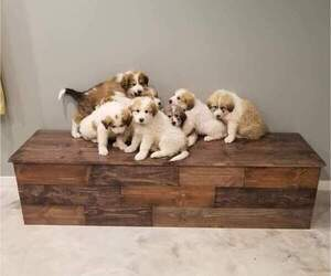 Border Collie-Great Pyrenees Mix Litter for sale in LESTER PR, MN, USA