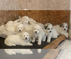 Great Pyrenees Litter for sale in MOUNT AIRY, NC, USA