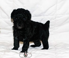 Poodle (Miniature) Litter for sale in SHALLOTTE, NC, USA